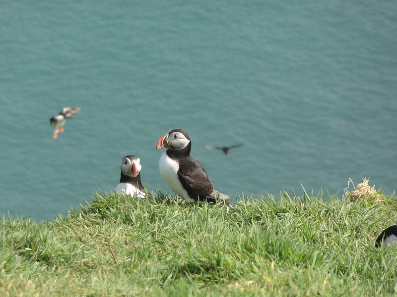 Puffins, North Haven, Skomer