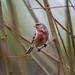 Redpoll, Male-