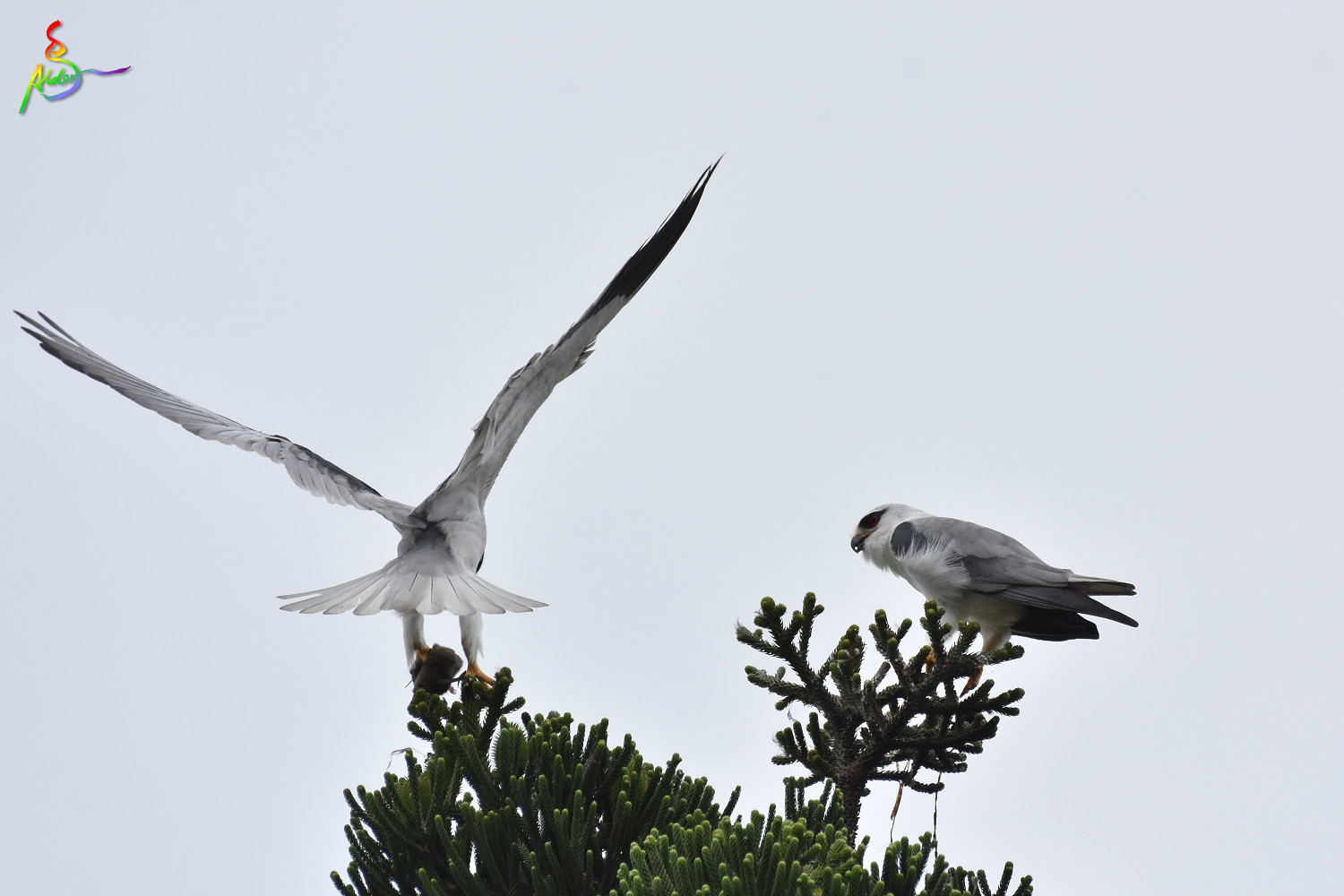 Black-winged_Kite_5022