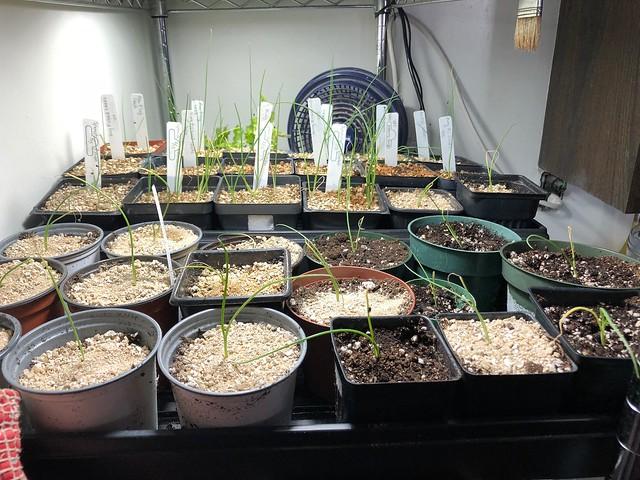 Onions transplanting