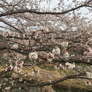 3月27日 矢那川の桜