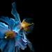 blue dreams at longwood gardens by noahkall