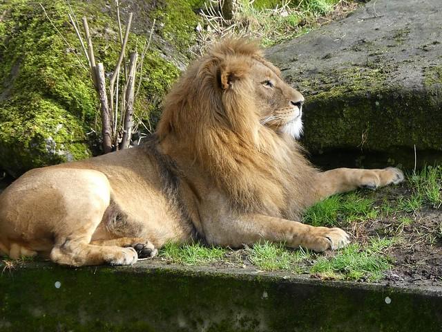 Löwe, Zoo Duisburg