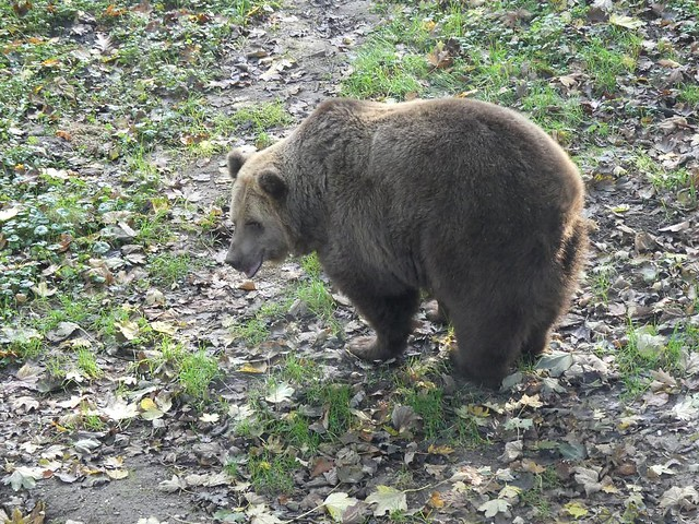 Braunbär, Ouwehands Dierenpark Rhenen