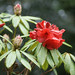 Rhododendron 'Matador'