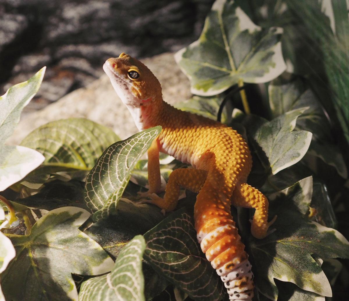 murphy leopard gecko