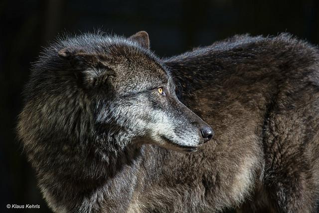 Wolf - 06041813