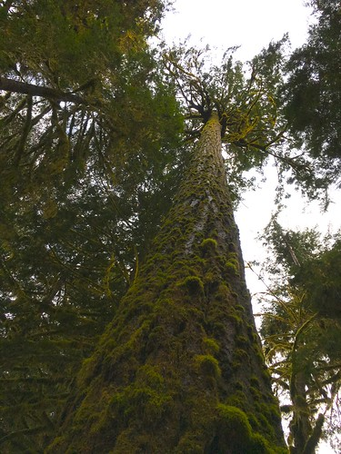 Giant tree (2)