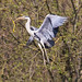 Grey Heron in flight with branch
