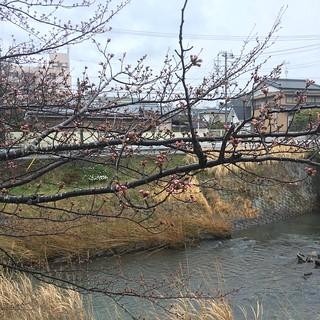 3月21日 矢那川の桜