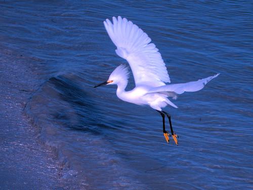 Snowy Egrets CROP1 01-20180403