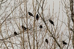 Red-winged blackbirds and starlings
