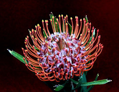 Flowering Gems / Blühendes Kleinod --- Pincushion Protea