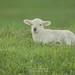 Sweet Seasons Farm Lamb
