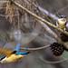 Sacred Kingfisher 95