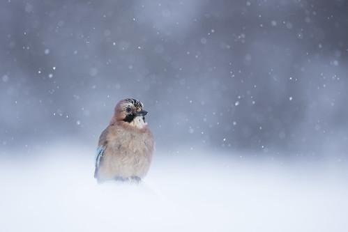 Jay in Snow