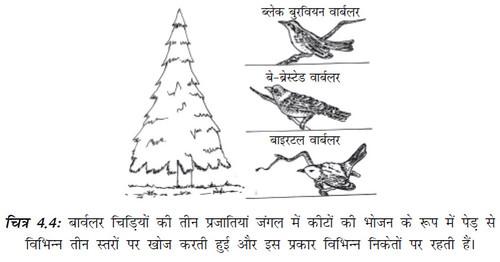 चित्र 4.4 बार्वलर चिड़ियों की तीन प्रजातियाँ जंगल में कीटों की भोजन के रूप में पेड़ से विभिन्न तीन स्तरों पर खोज करती हुई और इस प्रकार विभिन्न निकेतों पर रहती हैं