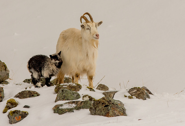 JWL7846  Mountain Goat...