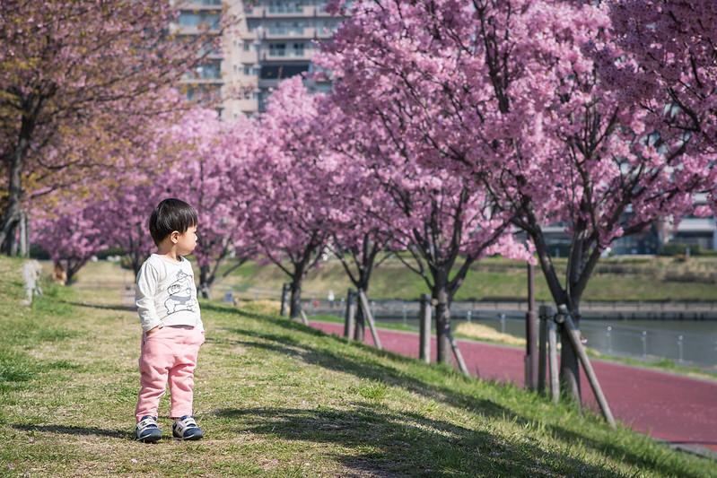 汐入公園の桜並木と子供の写真