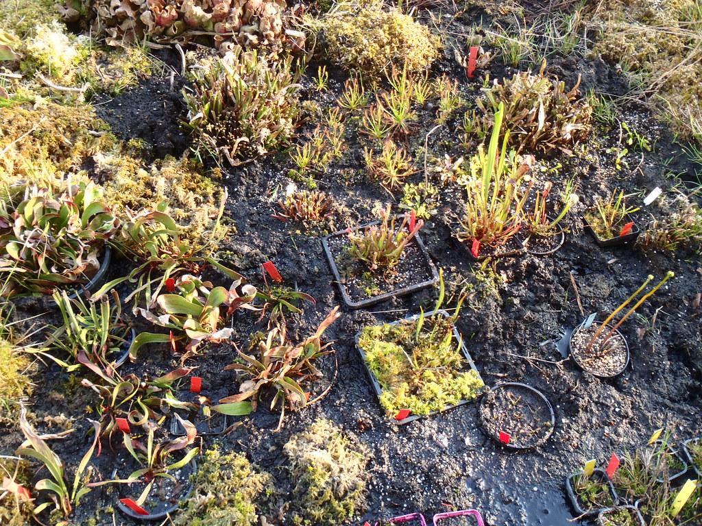 Droseras and Dionaeas