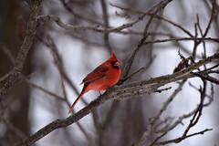 Male Northern Cardinal (Cardinalis cardinalis), Credit Valley Conservation, Mississauga On, Canada