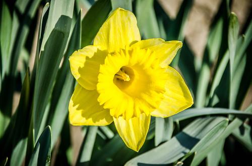 Skagit Daffodils-37
