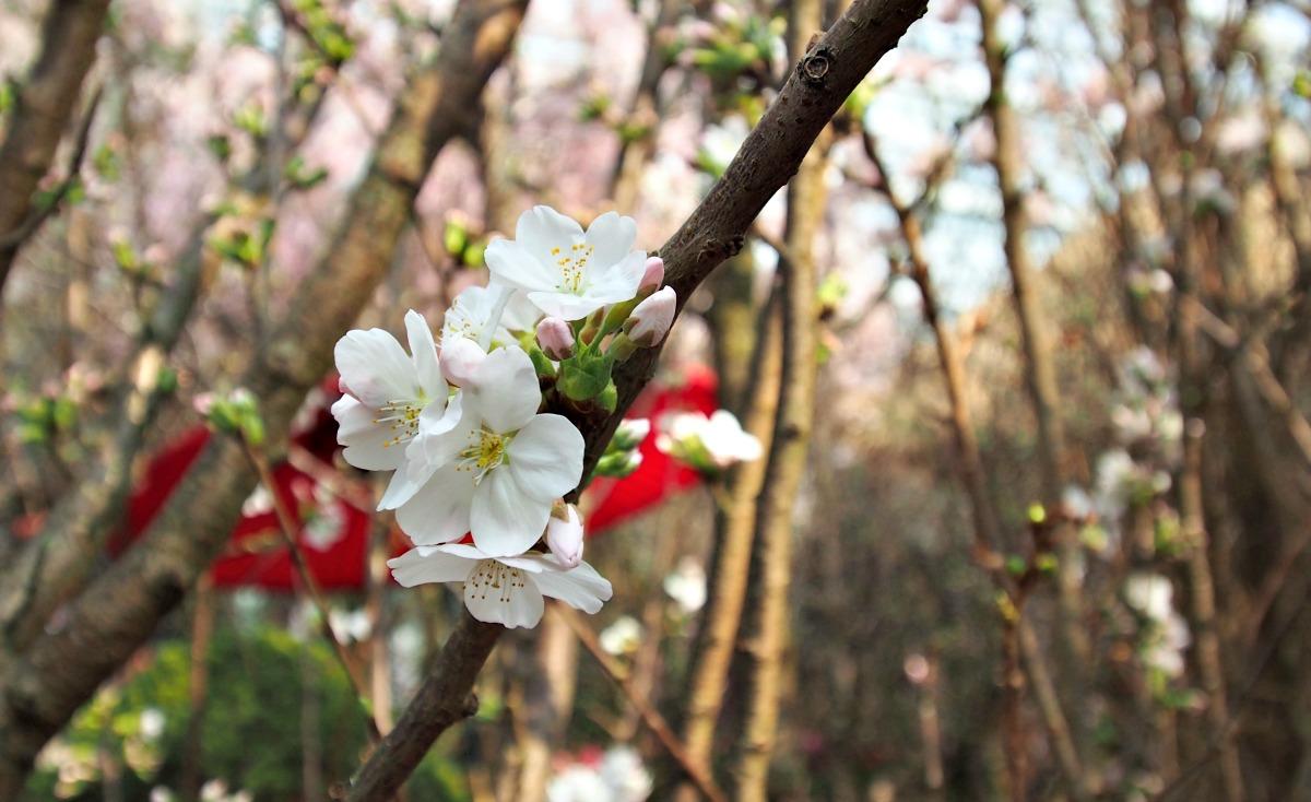Gardens by the Bay Sakura Matsuri