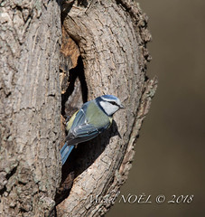 Mésange bleue - Cyanistes caeruleus - Eurasian Blue Tit : Michel NOËL © 2018-3218.jpg