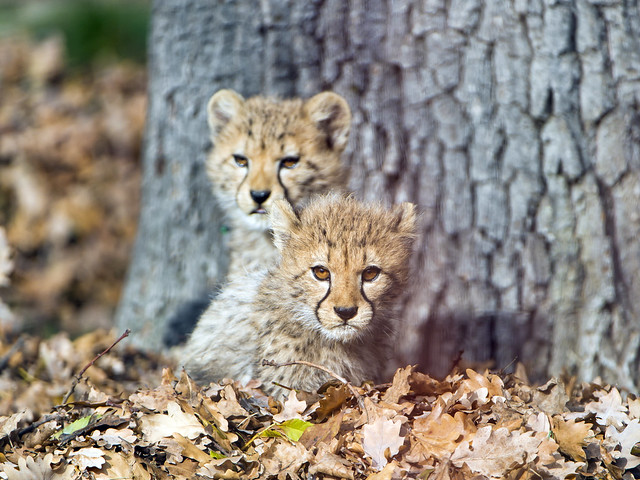 The two cubs in the leaves