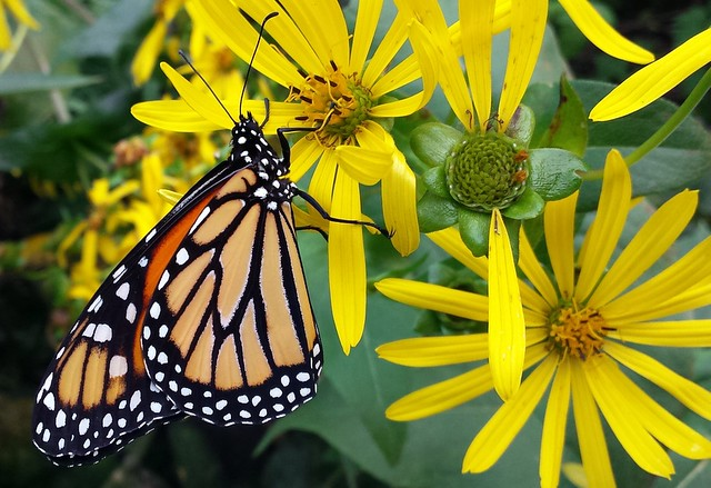 Male monarch butterfly hanging from a cup plant flower.