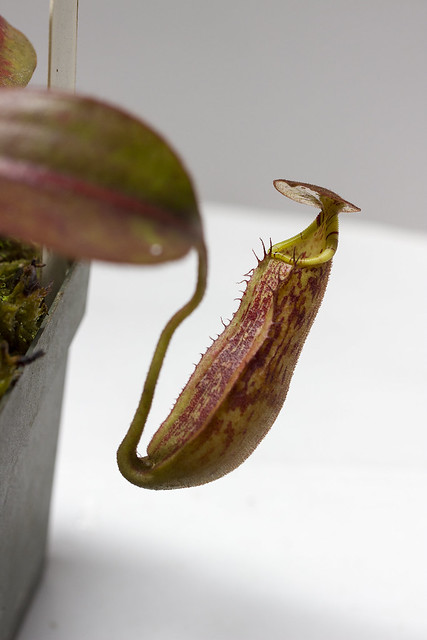 Nepenthes faizaliana MT tc