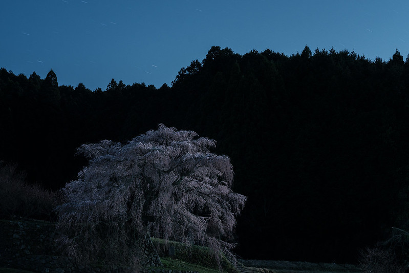 Moonlight's Old Cherry Blossoms