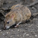 Brown Rat, (Rattus norvegicus).