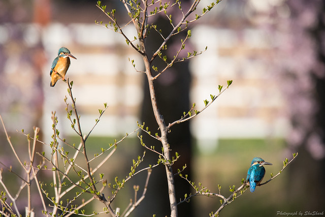 20180330-kingfisher-DSC_0523