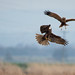Marsh Harrier scrapping with a Buzzard