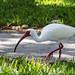 White Ibis  - Sarasota, FL by JB Barton