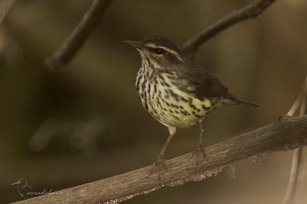 Cigüita de Río - Northern Waterthrush / Parkesia noveboracensis (Gmelin, 1789)