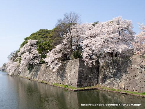 Cherry blossoms 20180403 #02