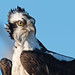 Osprey (17 years old) by Brian E Kushner