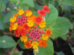 annual plant, flower, plant, herb, wildflower, flora, lantana camara,