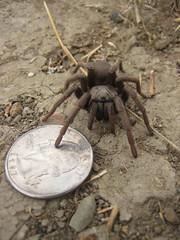 arthropod(1.0), animal(1.0), spider(1.0), soil(1.0), invertebrate(1.0), fauna(1.0), tarantula(1.0), wolf spider(1.0),