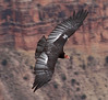 California Condor - Photo (c) Scott Page, some rights reserved (CC BY-NC-ND)