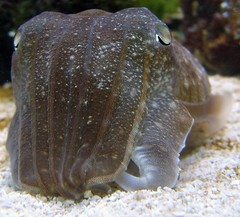 animal(1.0), marine biology(1.0), invertebrate(1.0), marine invertebrates(1.0), fauna(1.0), close-up(1.0), cuttlefish(1.0), wildlife(1.0),