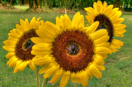 sunflowers-HDR