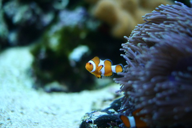Tropical fish nemo flickr photo sharing for What kind of fish is nemo