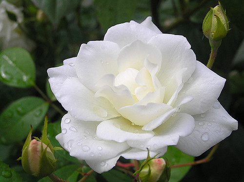 A white rose with nice drops...