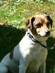 puppy(0.0), brazilian terrier(0.0), treeing walker coonhound(0.0), beagle(0.0), terrier(0.0), dog breed(1.0), animal(1.0), danish swedish farmdog(1.0), harrier(1.0), dog(1.0), english foxhound(1.0), american foxhound(1.0), pet(1.0), mammal(1.0), parson russell terrier(1.0), russell terrier(1.0), jack russell terrier(1.0),
