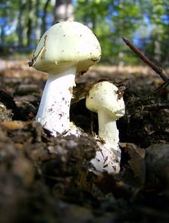 Amanita phalloides; Death Cap
