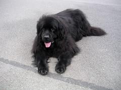 dog breed, animal, dog, boykin spaniel, pet, tibetan terrier, english cocker spaniel, spaniel, newfoundland, carnivoran,