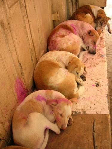 Holi dogs